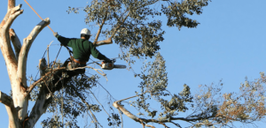tree-services-trimming-featimg-e1429836040897-300x145 Tree Removal